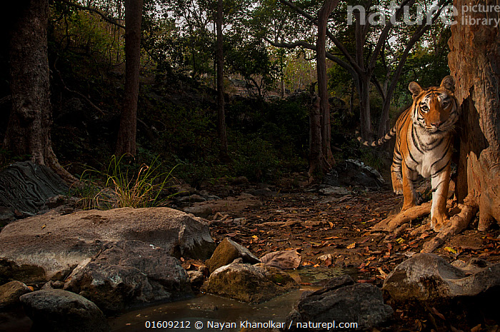 Bengal tiger (Panthera tigris tigris) in forest clearing. Camera trap image. Pench National Park, Madhya Pradesh, India. January 2018.  ,  Animal,Wildlife,Vertebrate,Mammal,Carnivore,Cat,Big cat,Tiger,Bengal tiger,Animalia,Animal,Wildlife,Vertebrate,Mammalia,Mammal,Carnivora,Carnivore,Felidae,Cat,Panthera,Big cat,Panthera tigris,Tiger,Felis tigris,Tigris striatus,Tigris regalis,Asia,Indian Subcontinent,India,Copy Space,Front View,Plant,Tree Trunk,Clearing,Glade,Clearings,Rock,Landscape,Twilight,Evening,Reserve,Forest,Bengal tiger,Indian tiger,Protected area,National Park,Direct Gaze,Madhya Pradesh,Negative space,Forest floor,Pench National Park,Trunk,Endangered species,threatened,Endangered,, catalogue11  ,  Nayan Khanolkar
