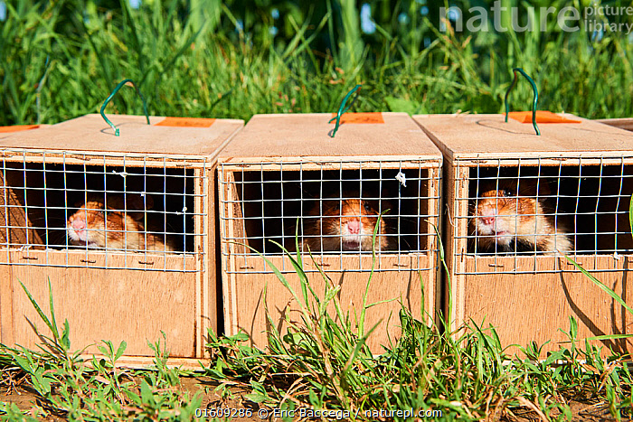 Common Hamsters (Cricetus cricetus) in cages ready for release in a wheat field. Geispolsheim, Alsace, France, June 2018  ,  Animal,Wildlife,Vertebrate,Mammal,Rodent,Hamster,Black-bellied Hamster,Animalia,Animal,Wildlife,Vertebrate,Mammalia,Mammal,Rodentia,Rodent,Cricetidae,Cricetus,Hamster,Cricetus cricetus,Black-bellied Hamster,Common Hamster,Cricetus albus,Cricetus babylonicus,Cricetus canescens,Releasing,Europe,Western Europe,France,Alsace,Cage,Cages,Conservation,Captive breeding,Species recovery programs,Wildlife conservation,,, catalogue11  ,  Eric Baccega