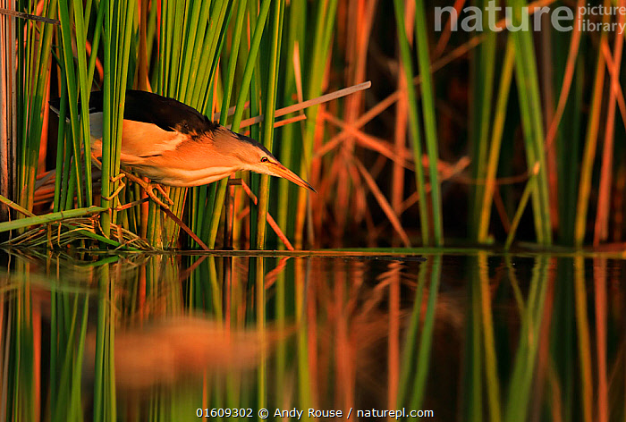 RF - Little bittern, (Ixobrychus minutus), hunting in reeds, Bulgaria  ,  Animal,Wildlife,Vertebrate,Bird,Birds,Bittern,Little bittern,Animalia,Animal,Wildlife,Vertebrate,Aves,Bird,Birds,Pelecaniformes,Ardeidae,Ixobrychus,Bittern,Botaurinae,Ixobrychus minutus,Little bittern,Atmospheric Mood,Europe,Eastern Europe,East Europe,Bulgaria,Plant,Grass Family,Reed,Reeds,Reflection,Sunset,Setting Sun,Sunsets,Dusk,Reedbed,Reed beds,Reed bed,RF,Royalty free,RF4,  ,  Andy Rouse
