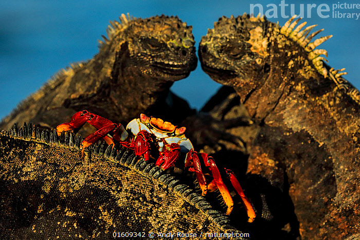 Sally lightfoot crab, (Grapsus grapsus), feeding on marine iguana parasites and dead skin, Galapagos, Animal,Wildlife,Crustacean,Decapod,Marsh crab,Sally lightfoot crab,Animalia,Animal,Wildlife,Crustracea,Crustacean,Malacostraca,Decapoda,Decapod,Grapsidae,Marsh crab,Shore crab,Talon crab,Grapsus,Grapsus grapsus,Sally lightfoot crab,Cancer jumpibus,Grapsus altifrons,Cancer grapsus,Colour,Red,Two,Affectionate,Affection,Latin America,South America,Galapagos Islands,Galapagos,Feeding,Arthropod,Arthropods,Mixed species,Biodiversity hotspot,Invertebrate,Galapagos National Park,UNESCO World Heritage Site,Marine,,catalogue12, Andy Rouse