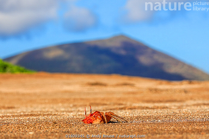 Galapagos Ghost Crab, (Ocypode gaudichaudii), emerging from burrow with volcano in background Galapagos  ,  Animal,Wildlife,Crustacean,Decapod,Crab,Ghost crab,Animalia,Animal,Wildlife,Crustracea,Crustacean,Malacostraca,Decapoda,Decapod,Ocypodidae,Crab,Ocypode,Ghost crab,Ocypode gaudichaudii,Colour,Red,Latin America,South America,Galapagos Islands,Galapagos,Burrow,Burrows,Coast,Coastal,Arthropod,Arthropods,Biodiversity hotspot,Invertebrate,Galapagos National Park,UNESCO World Heritage Site,Marine  ,  Andy Rouse