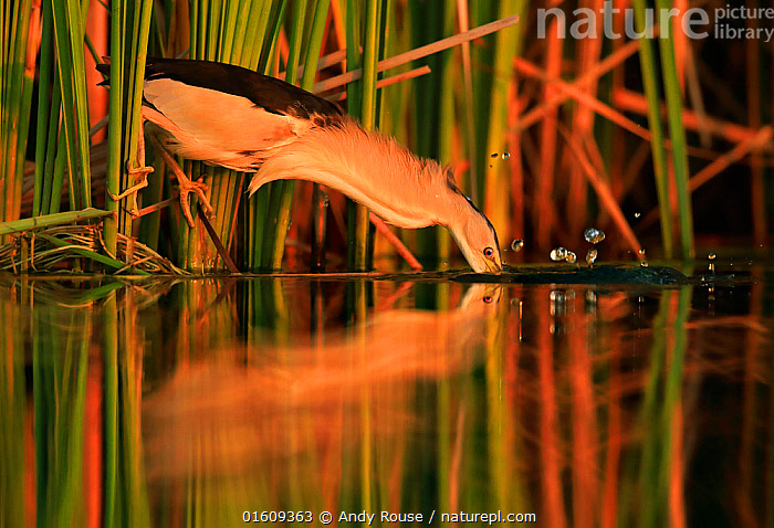 Little bittern, (Ixobrychus minutus), hunting in reeds, Bulgaria, June.  ,  Animal,Wildlife,Vertebrate,Bird,Birds,Bittern,Little bittern,Animalia,Animal,Wildlife,Vertebrate,Aves,Bird,Birds,Pelecaniformes,Ardeidae,Ixobrychus,Bittern,Botaurinae,Ixobrychus minutus,Little bittern,Atmospheric Mood,Europe,Eastern Europe,East Europe,Bulgaria,Plant,Grass Family,Reed,Reeds,Reflection,Sunset,Setting Sun,Sunsets,Dusk,Reedbed,Reed beds,Reed bed,,,catalogue12  ,  Andy Rouse