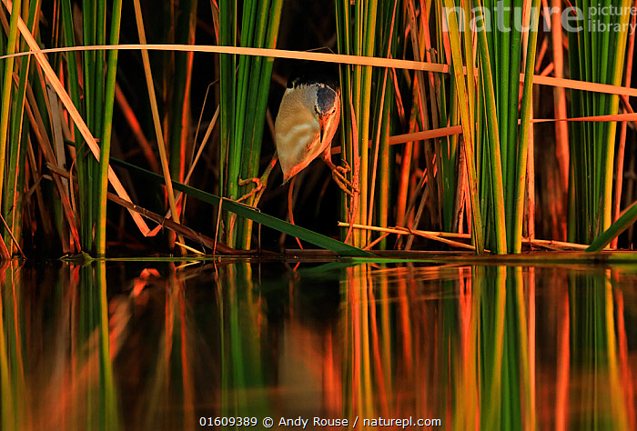 Little bittern, (Ixobrychus minutus), hunting in reeds, Bulgaria, June.  ,  Animal,Wildlife,Vertebrate,Bird,Birds,Bittern,Little bittern,Animalia,Animal,Wildlife,Vertebrate,Aves,Bird,Birds,Pelecaniformes,Ardeidae,Ixobrychus,Bittern,Botaurinae,Ixobrychus minutus,Little bittern,Atmospheric Mood,Balance,Europe,Eastern Europe,East Europe,Bulgaria,Plant,Grass Family,Reed,Reeds,Reflection,Sunset,Setting Sun,Sunsets,Freshwater,Water,Dusk,Reedbed,Reed beds,Reed bed,  ,  Andy Rouse
