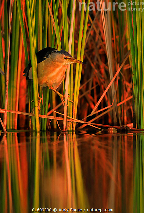Little bittern, (Ixobrychus minutus), hunting in reeds, Bulgaria, June.  ,  Animal,Wildlife,Vertebrate,Bird,Birds,Bittern,Little bittern,Animalia,Animal,Wildlife,Vertebrate,Aves,Bird,Birds,Pelecaniformes,Ardeidae,Ixobrychus,Bittern,Botaurinae,Ixobrychus minutus,Little bittern,Atmospheric Mood,Europe,Eastern Europe,East Europe,Bulgaria,Plant,Grass Family,Reed,Reeds,Reflection,Sunset,Setting Sun,Sunsets,Freshwater,Water,Dusk,Reedbed,Reed beds,Reed bed,  ,  Andy Rouse