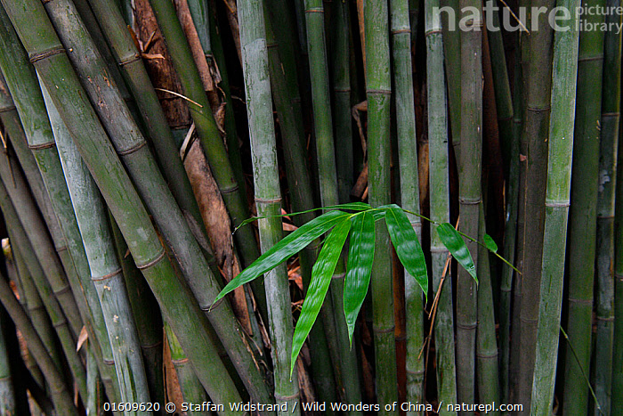 Bamboo, leaves and stems, East Lake Greenway park, Wuhan, Hubei, China, Plant,Vascular plant,Flowering plant,Monocot,Grass,Bamboo,Plantae,Plant,Tracheophyta,Vascular plant,Magnoliopsida,Flowering plant,Angiosperm,Seed plant,Spermatophyte,Spermatophytina,Angiospermae,Poales,Monocot,Monocotyledon,Lilianae,Poaceae,Grass,True grass,Gramineae,Bambusa,Bamboo,Bambusidae,Asia,East Asia,China,Leaf,Foliage,Stem,Bamboos,, Staffan Widstrand / Wild Wonders of China
