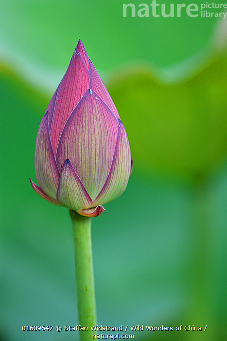 Nature Picture Library Indian Sacred Lotus Flower Bud Nelumbo
