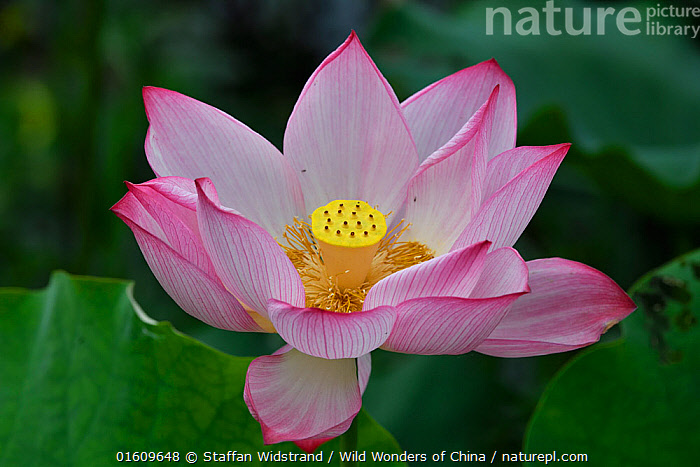 Nature Picture Library Indian Sacred Lotus Flower Nelumbo