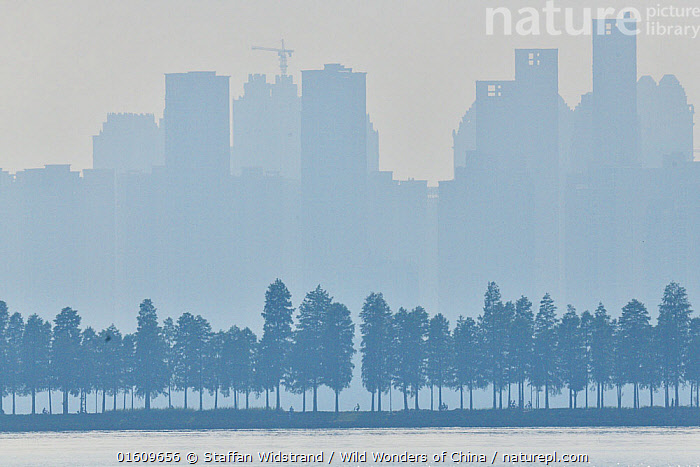 Silhouetted row of trees in front of high rise buildings, East Lake Greenway park, Wuhan, Hubei, China, Colour,Blue,Asia,East Asia,China,Back Lit,Plant,Tree,Park,Parks,Building,Skyscraper,Skyscrapers,Mist,Silhouette,Dawn,, Staffan Widstrand / Wild Wonders of China