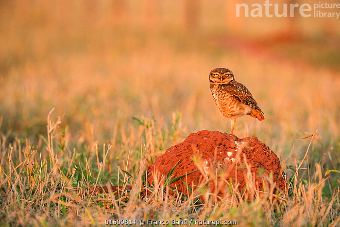 Burrowing owl (Athene cunicularia) perched on termite mound, Mato Grosso do Sul, Brazil, Animal,Wildlife,Vertebrate,Bird,Birds,Owl,Burrowing owl,Animalia,Animal,Wildlife,Vertebrate,Aves,Bird,Birds,Strigiformes,Owl,Bird of prey,Strigidae,Striginae,Athene,Athene cunicularia,Burrowing owl,Latin America,South America,Brazil,Animal Home,Nest,Termite Mound,Termite Mounds,Mato Grosso do Sul,, Franco  Banfi