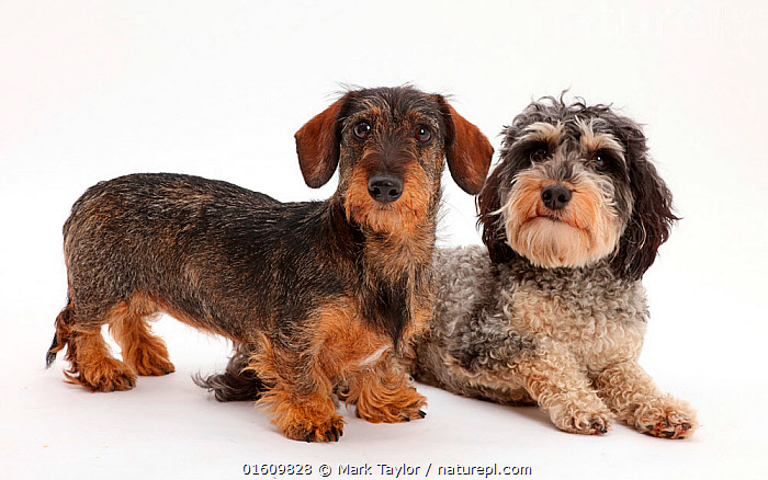 Nature Picture Library - Tricolour Daxie-doodle dog, Dougal, and