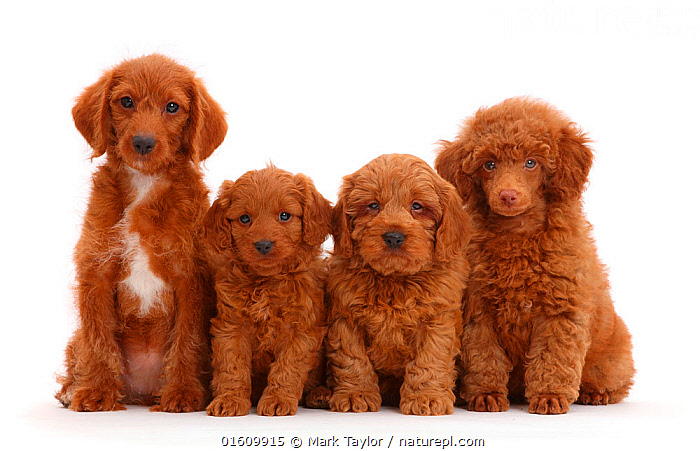 Red Poodle, Goldendoodle, and two Cavapoo puppies sitting in a row, Canis familiaris,Cross breed,Sitting,Cute,Adorable,Row,Colour,Brown,Few,Four,Group,Fluffy,Cutout,Plain Background,White Background,Portrait,Animal,Young Animal,Baby,Baby Mammal,Puppy,Pup,Pups,Crossbreed,Domestic animal,Pet,Domestic Dog,Utility Dog,Poodle,Domesticated,Designer breeds,Poodle cross,Cavapoo,Goldendoodle,Canis familiaris,Dog,Direct Gaze,In Line,Cross breed,Mammal,, Mark Taylor