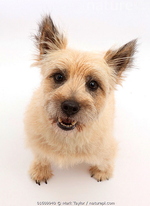 Cairn Terrier dog, Cara, sitting and looking up.  ,  Canis familiaris,Sitting,Cutout,Plain Background,White Background,Portrait,Animal,Domestic animal,Pet,Domestic Dog,Terrier,Small Dog,Cairn Terrier,Domesticated,Canis familiaris,Dog,Direct Gaze,Mammal,  ,  Mark Taylor