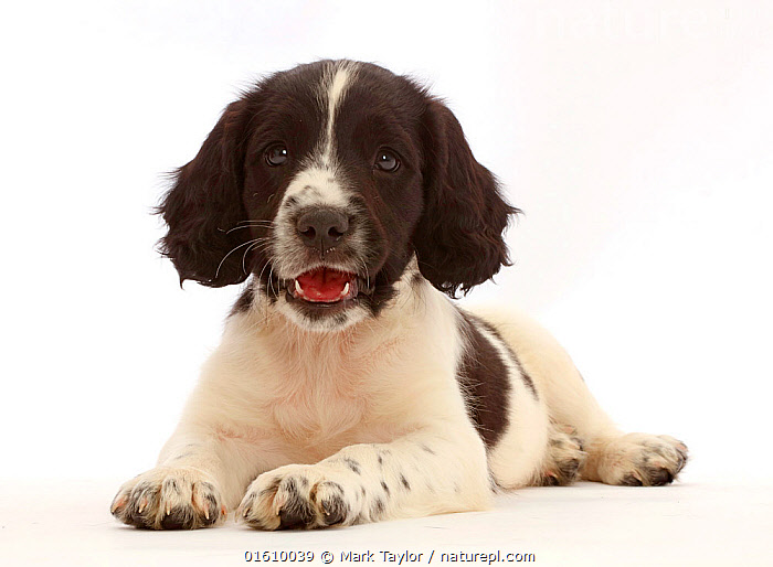 Working English Springer Spaniel puppy, age 7 weeks.  ,  Canis familiaris,Cute,Adorable,Cutout,Plain Background,White Background,Portrait,Animal,Young Animal,Baby,Baby Mammal,Puppy,Pup,Pups,Domestic animal,Pet,Domestic Dog,Gun dog,Medium dog,English Springer Spaniel,Domesticated,Canis familiaris,Dog,Direct Gaze,Spaniel,Mammal,  ,  Mark Taylor