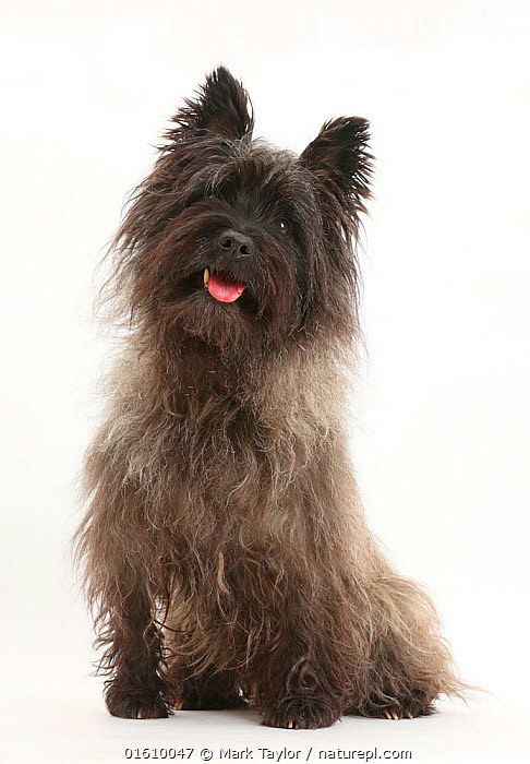 Black Cairn Terrier, sitting with tongue out.  ,  Canis familiaris,Happiness,Cutout,Plain Background,White Background,Portrait,Animal,Mouth,Domestic animal,Pet,Domestic Dog,Terrier,Small Dog,Cairn Terrier,Domesticated,Canis familiaris,Dog,Direct Gaze,Open Mouth,Mammal,  ,  Mark Taylor