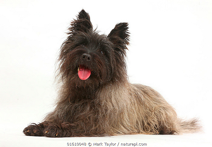 Black Cairn Terrier, lying down with tongue out.  ,  Canis familiaris,Happiness,Cutout,Plain Background,White Background,Portrait,Animal,Mouth,Domestic animal,Pet,Domestic Dog,Terrier,Small Dog,Cairn Terrier,Domesticated,Canis familiaris,Dog,Direct Gaze,Open Mouth,Mammal,  ,  Mark Taylor