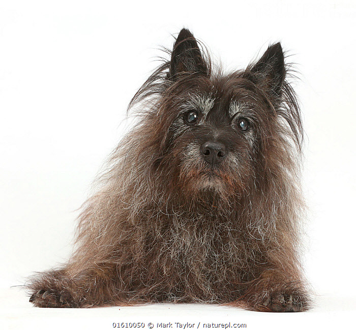 Elderly black Cairn Terrier resting.  ,  Canis familiaris,Cutout,Plain Background,White Background,Portrait,Animal,Domestic animal,Pet,Domestic Dog,Terrier,Small Dog,Cairn Terrier,Domesticated,Canis familiaris,Dog,Direct Gaze,Mammal,  ,  Mark Taylor