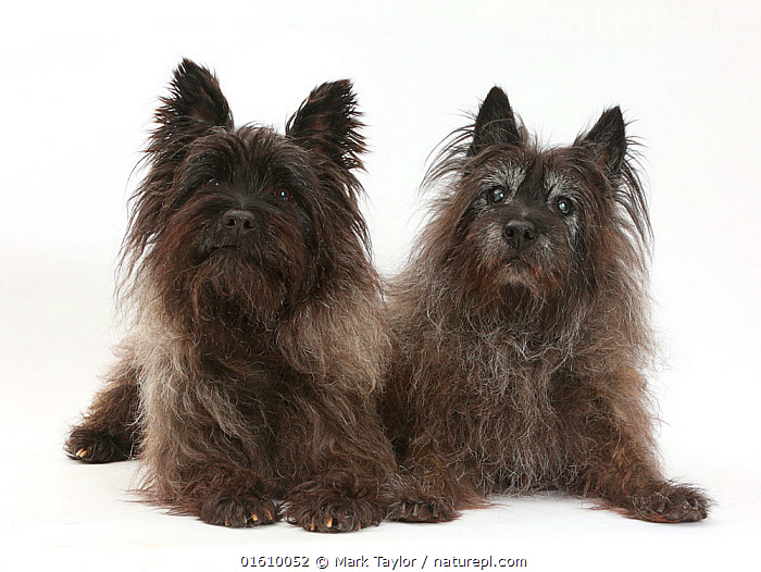 Two black Cairn Terriers, one elderly, resting.  ,  Canis familiaris,Cutout,Plain Background,White Background,Portrait,Animal,Domestic animal,Pet,Domestic Dog,Terrier,Small Dog,Cairn Terrier,Domesticated,Canis familiaris,Dog,Direct Gaze,Mammal,  ,  Mark Taylor