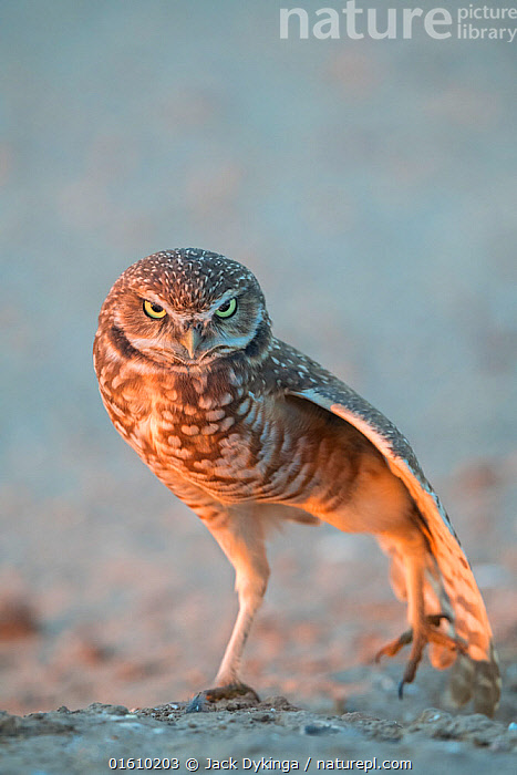 Burrowing owl (Athene cunicularia) stretching, in evening light. Marana, Arizona, USA., Animal,Wildlife,Vertebrate,Bird,Birds,Owl,Burrowing owl,American,Animalia,Animal,Wildlife,Vertebrate,Aves,Bird,Birds,Strigiformes,Owl,Bird of prey,Strigidae,Striginae,Athene,Athene cunicularia,Burrowing owl,Stretching,Standing,On One Leg,Wisdom,Wise,Facial Expression,Frowning,Frown,Frowns,Scowl,Scowling,Scowls,North America,USA,Western USA,Southwest USA,Arizona,Copy Space,Twilight,Evening,Direct Gaze,Negative space,American,United States of America,Marana,, Jack Dykinga