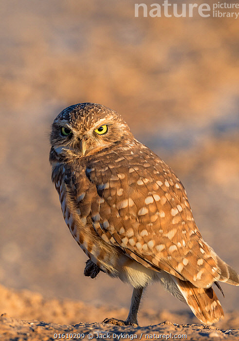 Burrowing owl (Athene cunicularia) portrait, looking at camera in morning light. Marana, Arizona, USA., Animal,Wildlife,Vertebrate,Bird,Birds,Owl,Burrowing owl,American,Animalia,Animal,Wildlife,Vertebrate,Aves,Bird,Birds,Strigiformes,Owl,Bird of prey,Strigidae,Striginae,Athene,Athene cunicularia,Burrowing owl,Standing,On One Leg,Pattern,Spotted,North America,USA,Western USA,Southwest USA,Arizona,Copy Space,Side View,Portrait,Direct Gaze,Negative space,American,United States of America,Marana,, Jack Dykinga