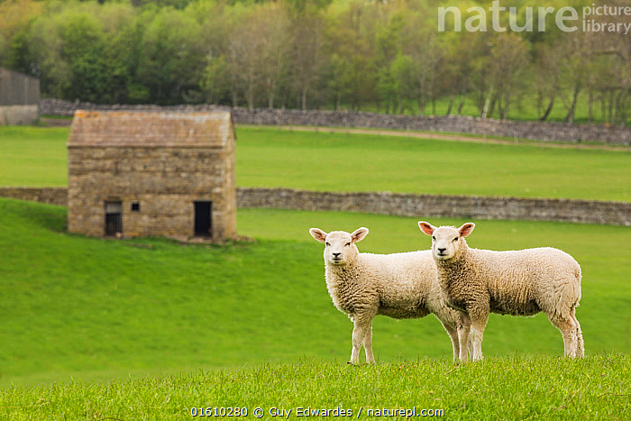 Two lambs in Wensleydale, Yorkshire Dales National Park, North Yorkshire, England, UK, May.. May 2015  ,  Barn,Blue Sky,Dales,England,Farming,Fields,Guy Edwardes,Horizontal,Landscape,National Park,North Yorkshire,Sheep,Summer,Two,UK,Wensleydale,Yorkshire Dales National Park,agric.,animals,countryside,domestic,dry-stone wall,farm,lamb,lambs,lead-in lines,meadows,,,Two,Europe,Western Europe,UK,Great Britain,England,Animal,Young Animal,Baby,Baby Mammal,Lamb,Building,Agricultural Building,Barn,Landscape,Reserve,Yorkshire,Protected area,National Park,  ,  Guy Edwardes