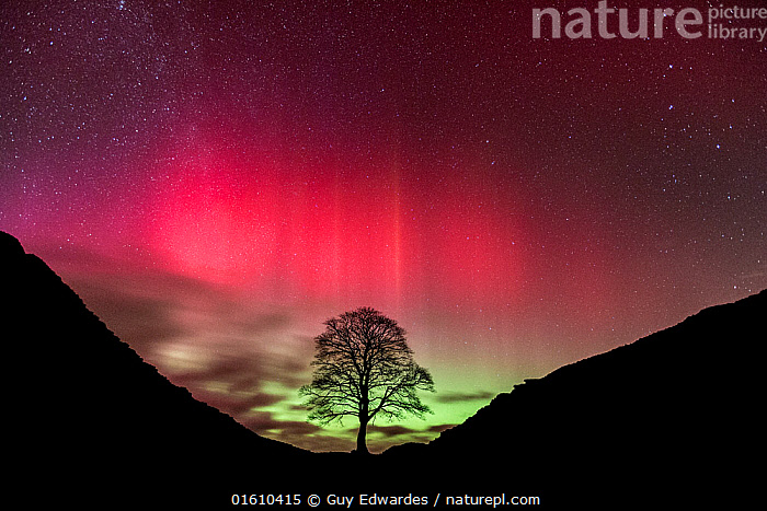 Aurora Borealis over Sycamore Gap, Hadrian's Wall, Northumberland, England. February 2014  ,  Aurora Borealis,Dark Skies,England,Guy Edwardes,Hadrian&#39,s Wall,Haltwhistle,Horizontal,Landscape,Night,Northern Lights,Northumberland,Northumberland National Park,Sycamore (Acer pseudoplatanus),Sycamore Gap,UK,stars,,,Astonishing,Colour,Pink,Styles,Architectural Styles,Classical,Roman,Europe,Western Europe,UK,Great Britain,England,Northumberland,Plant,Tree,Sycamore,Sycamore Tree,Sycamore Trees,Sycamores,Aurora,Auroras,Aurora Borealis,Northern Lights,Landscape,Beautiful,History,Culture,Roman Culture,Ancient Roman Culture,Roman,Historic Cultures,Interesting,The Past,Natural Light,,, catalogue11  ,  Guy Edwardes