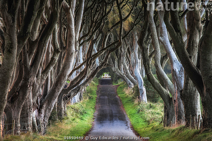The Dark Hedges, Stranocum, Co. Antrim, Northern Ireland, September 2010., Avenue,Ballymoney,Beech (Fagus sylvatica),Broadleaved,County Antrim,Dark Hedges,Deciduous,Europe,Guy Edwardes,Horizontal,Landscape,Northern Ireland,Path,Road,Stranocum,Track,Trees,perspective,trunks,,,Journey,Mystery,Europe,Western Europe,UK,Northern Ireland,Hedgerows,Hedgerow,Hedge,Hedges,Road,Treelined,Landscape,Antrim,,, catalogue11, Guy Edwardes