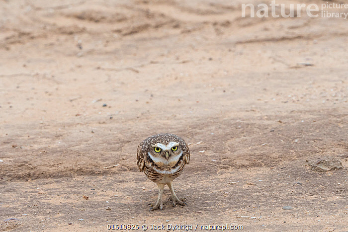 Burrowing owl (Athene cunicularia) showing bright white brow and chin feathers while bobbing up and down in territorial display, sequence 2 of 2, Marana, Sonoran Desert, Arizona, USA. October., Animal,Wildlife,Vertebrate,Bird,Birds,Owl,Burrowing owl,American,Animalia,Animal,Wildlife,Vertebrate,Aves,Bird,Birds,Strigiformes,Owl,Bird of prey,Strigidae,Striginae,Athene,Athene cunicularia,Burrowing owl,North America,USA,Western USA,Southwest USA,Arizona,Animal Behaviour,Territorial,Display,Behaviour,Displaying,American,United States of America,Behavioural,Sonoran Desert,, Jack Dykinga