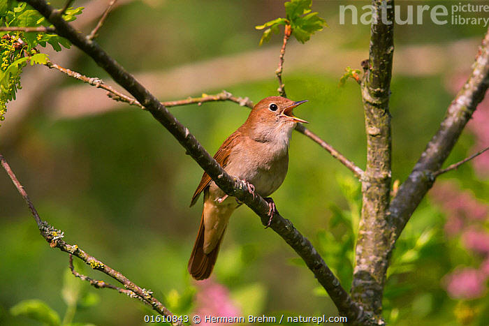 Nightingale (Luscinia megarhynchos ) singing, Germany, April.  ,  Animal,Wildlife,Vertebrate,Bird,Birds,Songbird,Old world flycatcher,Chat,Nightingale,Animalia,Animal,Wildlife,Vertebrate,Aves,Bird,Birds,Passeriformes,Songbird,Passerine,Muscicapidae,Old world flycatcher,Flycatcher,Luscinia,Chat,Chat thrush,Saxicolinae,Luscinia megarhynchos,Nightingale,Common nightingale,Rufous nightingale,Western nightingale,Vocalisation,Singing,Sing,Europe,Western Europe,Germany,Animal Behaviour,Behaviour,Behavioural,,, catalogue11  ,  Hermann Brehm