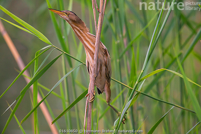 Little Bittern (Ixobrychus minutus) Germany, May.  ,  Animal,Wildlife,Vertebrate,Bird,Birds,Bittern,Little bittern,Animalia,Animal,Wildlife,Vertebrate,Aves,Bird,Birds,Pelecaniformes,Ardeidae,Ixobrychus,Bittern,Botaurinae,Ixobrychus minutus,Little bittern,Europe,Western Europe,Germany,Reedbed,Reed beds,Reed bed,  ,  Hermann Brehm