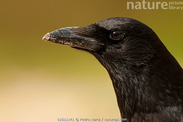 Carrion crow (Corvus corone) portrait, Sado Estuary, Portugal. January  ,  Animal,Wildlife,Vertebrate,Bird,Birds,Songbird,Crow,Carrion crow,Animalia,Animal,Wildlife,Vertebrate,Aves,Bird,Birds,Passeriformes,Songbird,Passerine,Corvidae,Corvid,Corvus,Crow,Corvus corone,Carrion crow,Common crow,Eurasian crow,Europe,Southern Europe,Portugal,Copy Space,Profile,Side View,Portrait,Negative space,Sado Estuary,  ,  Pedro  Narra