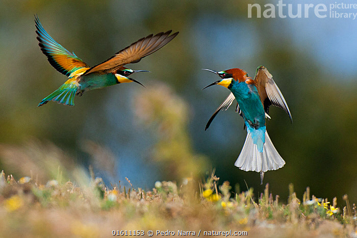 European Bee-eater (Merops apiaster) squabbling, Sado Estuary, Portugal. April, Animal,Wildlife,Vertebrate,Bird,Birds,Bee eater,European bee eater,Animalia,Animal,Wildlife,Vertebrate,Aves,Bird,Birds,Coraciiformes,Meropidae,Bee eater,Merops,Merops apiaster,European bee eater,Eurasian bee eater,Golden bee eater,Flying,Europe,Southern Europe,Portugal,Animal Behaviour,Behaviour,Squabbling,Squabble,Sado Estuary,Behavioural,, Pedro  Narra