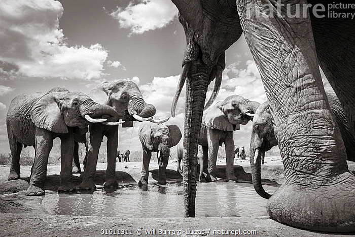 Black and white image of African elephant (Loxodonta africana) herd at waterhole, Tsavo Conservation Area, Kenya. Taken with a remote camera buggy / BeetleCam. Editorial use only. Other uses need clearance.  ,  Animal,Wildlife,Vertebrate,Mammal,Elephant,African elephants,African elephant,Animalia,Animal,Wildlife,Vertebrate,Mammalia,Mammal,Proboscidea,Elephantidae,Elephant,Loxodonta,African elephants,Loxodonta africana,African elephant,Africa,East Africa,Kenya,B/W,Monochromatic,Drinking,Reserve,Arty shots,Protected area,National Park,Tsavo,Endangered species,threatened,Endangered,,remote camera,  ,  Will Burrard-Lucas