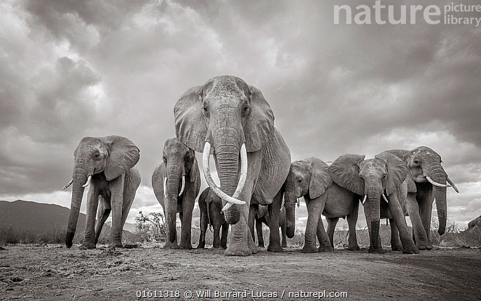 Black and white image of African elephant (Loxodonta africana) matriarch with herd, Tsavo Conservation Area, Kenya. Taken with a remote camera buggy / BeetleCam. Editorial use only. Other uses need clearance.  ,  Animal,Wildlife,Vertebrate,Mammal,Elephant,African elephants,African elephant,Animalia,Animal,Wildlife,Vertebrate,Mammalia,Mammal,Proboscidea,Elephantidae,Elephant,Loxodonta,African elephants,Loxodonta africana,African elephant,Group Of Animals,Herd,Group,Africa,East Africa,Kenya,B/W,Monochromatic,Female animal,Habitat,Reserve,Arty shots,Protected area,National Park,Tsavo,Endangered species,threatened,Endangered,,remote camera,  ,  Will Burrard-Lucas