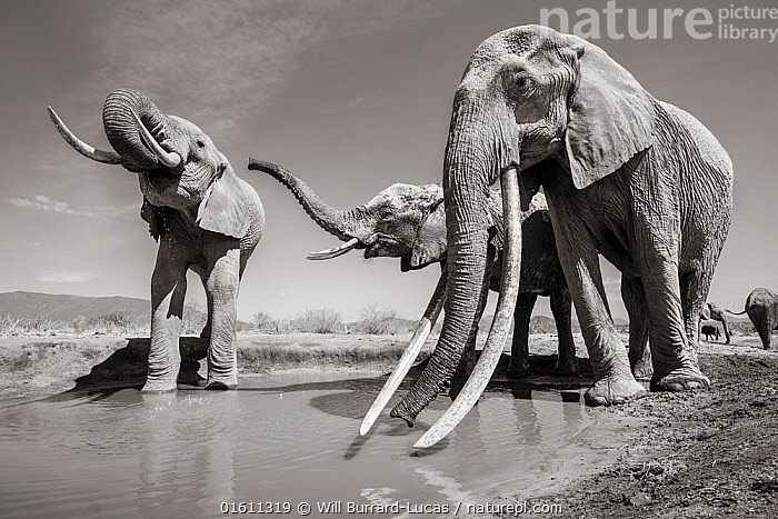 Black and white image of African elephant (Loxodonta africana) herd at water hole, female with extremely long tusks, Tsavo Conservation Area, Kenya. Taken with a remote camera buggy / BeetleCam. Editorial use only. Other uses need clearance.  ,  Animal,Wildlife,Vertebrate,Mammal,Elephant,African elephants,African elephant,Animalia,Animal,Wildlife,Vertebrate,Mammalia,Mammal,Proboscidea,Elephantidae,Elephant,Loxodonta,African elephants,Loxodonta africana,African elephant,Africa,East Africa,Kenya,B/W,Monochromatic,Female animal,Tusk,Tusks,Reserve,Arty shots,Protected area,National Park,Tsavo,Endangered species,threatened,Endangered,,remote camera,  ,  Will Burrard-Lucas