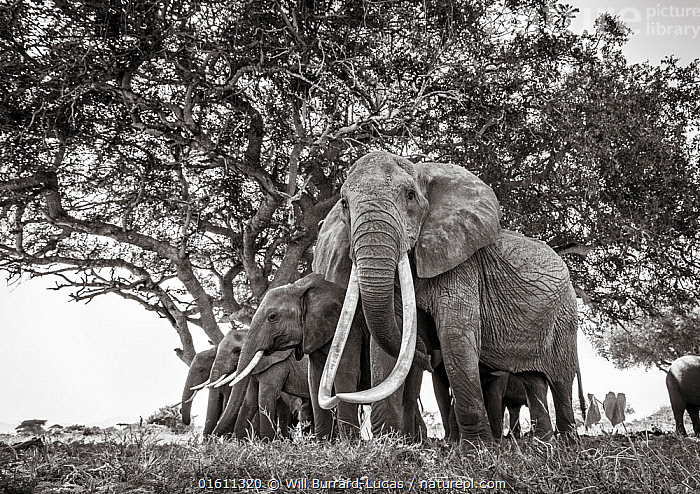 Black and white image of African elephant (Loxodonta africana) herd, females with extremely long tusks, Tsavo Conservation Area, Kenya. Taken with a remote camera buggy / BeetleCam. Editorial use only. Other uses need clearance.  ,  Animal,Wildlife,Vertebrate,Mammal,Elephant,African elephants,African elephant,Animalia,Animal,Wildlife,Vertebrate,Mammalia,Mammal,Proboscidea,Elephantidae,Elephant,Loxodonta,African elephants,Loxodonta africana,African elephant,Group,Africa,East Africa,Kenya,B/W,Monochromatic,Female animal,Tusk,Tusks,Reserve,Arty shots,Protected area,National Park,Tsavo,Endangered species,threatened,Endangered,,remote camera,  ,  Will Burrard-Lucas