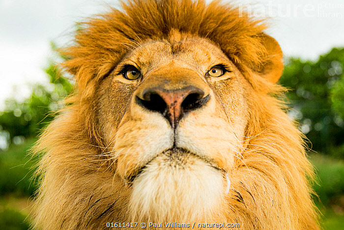 RF - Lion (Panthera leo) portrait, looking proud, Captive (This image may be licensed either as rights managed or royalty free.)  ,  Animal,Wildlife,Vertebrate,Mammal,Carnivore,Cat,Big cat,Lion,Animalia,Animal,Wildlife,Vertebrate,Mammalia,Mammal,Carnivora,Carnivore,Felidae,Cat,Panthera,Big cat,Panthera leo,Facial Expression,Close Up,Portrait,Lion,RF,Royalty free,RF4,  ,  Paul Williams
