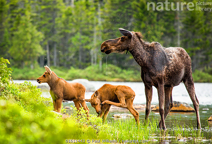 Moose (Alces alces) female with twin calves, Baxter State Park, Maine, USA, June., Animal,Wildlife,Vertebrate,Mammal,Deer,Moose,Eurasian Elk,American,Animalia,Animal,Wildlife,Vertebrate,Mammalia,Mammal,Artiodactyla,Even-toed ungulates,Cervidae,Deer,True deer,ruminantia,Ruminant,Alces,Moose,Alces alces,Eurasian Elk,Eurasian Moose,European Elk,Siberian Elk,Sibling,Siblings,Twins,Twin,North America,USA,Eastern USA,New England,Maine,Young Animal,Baby,Baby Mammal,Calf,Flowing Water,River,Freshwater,Water,Family,Mother baby,Mother,Parent baby,American,United States of America,,, catalogue11, Paul Williams