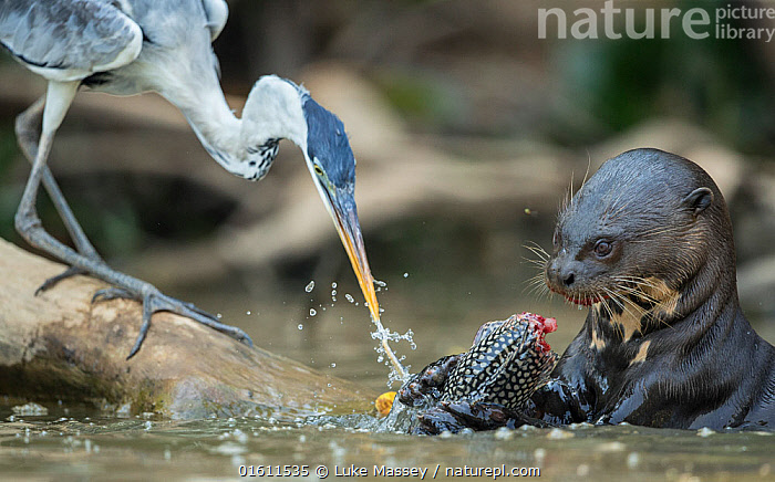 Giant otter (Pteronura brasiliensis) feeding on a catfish (Loricariidae) with Cocoi heron (Ardea cocoi) scavenging remnants, Rio Cuiaba, Brazil, Animal,Wildlife,Vertebrate,Ray-finned fish,Catfish,Sucking catfish,Bird,Birds,Typical heron,Cocoi heron,Mammal,Carnivore,Mustelid,Giant Otter,Giant Brazilian Otter,Animalia,Animal,Wildlife,Vertebrate,Actinopterygii,Ray-finned fish,Osteichthyes,Bony fish,Fish,Siluriformes,Catfish,Loricariidae,Hypostomus,Sucking catfish,Plecostomus plecostomus,Acipenser plecostomus,Pterygoplichthys plecostomus,Aves,Bird,Birds,Pelecaniformes,Ardeidae,Ardea,Typical heron,Heron,Ardeinae,Ardea cocoi,Cocoi heron,Mammalia,Mammal,Carnivora,Carnivore,Mustelidae,Mustelid,Pteronura,Giant Otter,Pteronura brasiliensis,Giant Brazilian Otter,Latin America,South America,Brazil,Riverbank,Flowing Water,River,Freshwater,Water,Animal Behaviour,Feeding,Scavenging,Predation,Mixed species,Behaviour,Behavioural,Freshwater,Endangered species,threatened,Endangered,, catalogue11, Luke Massey