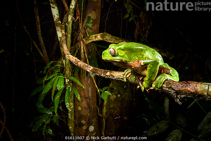 Giant monkey frog / leaf frog (Phyllomedusa bicolor) sitting on branch at nighht in canopy. Lowland Amazon rainforest, Manu Biosphere Reserve, Peru.  ,  Amazon,Amazonia,Anura,Archive,Manu,Peru,Phyllomedusa bicolor,South America,arboreal,canopy,frog,leaf frog,lowland,monkey frog,night,nocturnal,rainforest,tree frog,tropical forest,,Animal,Wildlife,Vertebrate,Frog,Tree frog,Leaf frog,Animalia,Animal,Wildlife,Vertebrate,Amphibia,Anura,Frog,Hylidae,Tree frog,Phyllomedusa,Leaf frog,Phyllomedusa bicolor,Sitting,Colour,Green,Dark,Latin America,South America,Peru,Profile,Side View,Night,Nocturnal,Nature,Nature Reserve,Rainforest,Reserve,Forest,Protected area,Manu National Park,Amphibian,Amazon,UNESCO Biosphere Reserve,Manu Biosphere Reserve,  ,  Nick Garbutt