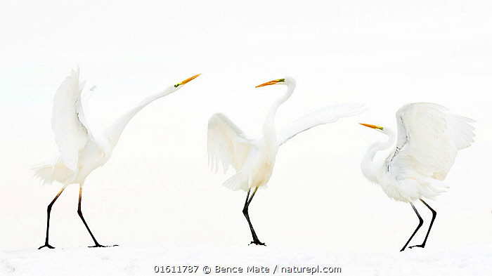 Great white egret (Ardea alba) group of three in winter, Kiskunsag National Park, Hungary. Winner of the Bird Category of Nature Photographer of the Year Awards 2018., Animal,Wildlife,Vertebrate,Bird,Birds,Typical heron,Great egret,Animalia,Animal,Wildlife,Vertebrate,Aves,Bird,Birds,Pelecaniformes,Ardeidae,Ardea,Typical heron,Heron,Ardeinae,Ardea alba,Great egret,Great white egret,Large egret,Great white heron,Casmerodius albus,Egretta alba,Mood,Spartan,Minimal,Minimalism,Colour,White,Few,Three,Group,Europe,Eastern Europe,East Europe,Hungary,Wing,Snow,Winter,Communication,Competition winner,Jalohaikara,Kiskunsagi National Park,Pusztaszer,Photography award,,, catalogue11, Bence Mate