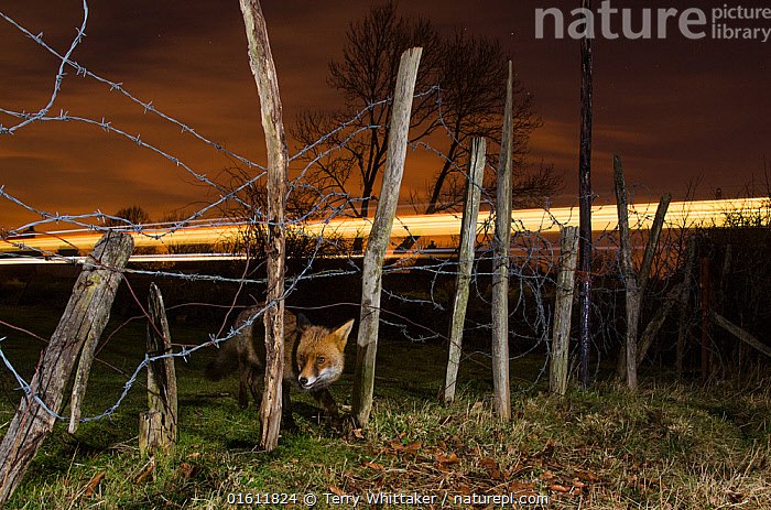 Red fox (Vulpes vulpes) adult with train in background, Kent, UK. March. Highly commended in the Nature Photographer of the Year Awards 2018. Taken with remote camera.  ,  Animal,Wildlife,Vertebrate,Mammal,Carnivore,Canid,True fox,Red fox,Animalia,Animal,Wildlife,Vertebrate,Mammalia,Mammal,Carnivora,Carnivore,Canidae,Canid,Vulpes,True fox,Vulpini,Caninae,Vulpes vulpes,Red fox,Europe,Western Europe,UK,Great Britain,England,Kent,Boundary,Fence,Infrastructure,Transportation Infrastructure,Rail Transport Infrastructure,Railroad,Railroads,Railway,Railways,Land Vehicle,Commercial Land Vehicle,Train,Trains,Wire,Barbed Wire,Night,Competition winner,Photography award,,, catalogue11  ,  Terry  Whittaker