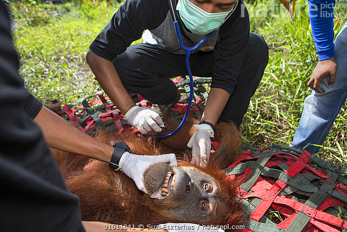 Vet examining Sumatran orangutan (Pongo abelii) female rescued by Human Orangutan Conflict Response Unit. Rescued from area of clearcut forest and later released into a national park. Aceh Province, Sumatra, Indonesia. 2012. Captive., Animal,Wildlife,Vertebrate,Mammal,Ape,Great ape,Orangutan,Sumatran Orangutan,Animalia,Animal,Wildlife,Vertebrate,Mammalia,Mammal,Primate,Primates,Hominidae,Ape,Great ape,Hominoidea,Pongo,Orangutan,Orang utan,Ponginae,Pongo abelii,Sumatran Orangutan,People,Veterinary Surgeon,Group,Group Of People,Small Group Of People,Few,Facial Expression,Grimacing,Grimace,Asia,South East Asia,Indonesia,Female animal,Environment,Environmental Issues,Environmental Damage,Deforestation,Conservation,Biodiversity hotspot,Sumatra,Conservation issues,Human-wildlife conflict,Direct Gaze,Animal Care,Habitat Loss,Animal rescue,Wildlife rescue,Habitat destruction,Aceh,Endangered species,threatened,Critically endangered, Suzi Eszterhas