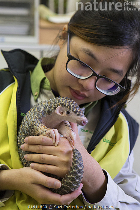 Chinese pangolin (Manis pentadactyla), orphaned baby in arms of research assistant. Taipei Zoo, Taipei, Taiwan. 2015. Captive. Model released.  ,  Animal,Wildlife,Vertebrate,Mammal,Pangolin,Pangolins,Chinese Pangolin,Animalia,Animal,Wildlife,Vertebrate,Mammalia,Mammal,Pholidota,Pangolin,Manidae,Pangolins,Scaly anteater,Trenggiling,Manis,People,Woman,Scientist,Scientists,Care,Caring,Cute,Adorable,Asia,East Asia,Taiwan,Nationalist Republic Of China,Taipei,Young Animal,Baby,Baby Mammal,Scale,Animal Scale,Scaly,Hand,Zoos,Conservation,Animal rehabilitation,Rehabilitation,Wildlife conservation,Animal orphan,Orphan,Animal Care,Chinese Pangolin,Researcher,Looking After,Animal rescue,Wildlife rescue,,catalogue12  ,  Suzi Eszterhas