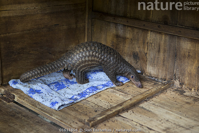 Sunda pangolin (Manis javanica), baby aged three months. Rescued from poachers by Carnivore and Pangolin Conservation Program. Cuc Phuong National Park, Ninh Binh, Vietnam. 2014. Captive.  ,  Animal,Wildlife,Vertebrate,Mammal,Pangolin,Pangolins,Malayan Pangolin,Animalia,Animal,Wildlife,Vertebrate,Mammalia,Mammal,Pholidota,Pangolin,Manidae,Pangolins,Scaly anteater,Trenggiling,Manis,Manis javanica,Malayan Pangolin,Sunda Pangolin,Asia,South East Asia,Vietnam,Side View,Young Animal,Baby,Scale,Animal Scale,Scaly,Reserve,Conservation,Animal rehabilitation,Rehabilitation,Wildlife conservation,Protected area,National Park,Animal orphan,Orphan,Animal Care,Animal rescue,Wildlife rescue,Ninh Binh,Cuc Phuong National Park,Endangered species,threatened,Vulnerable  ,  Suzi Eszterhas