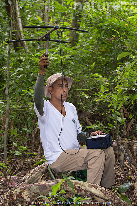 Researcher from Proyecto Titi radio tracking Cotton-top tamarin (Saguinus oedipus). Northern Colombia. 2016., Animal,Wildlife,Vertebrate,Mammal,Monkey,Tamarin,Cotton-headed Tamarin,Animalia,Animal,Wildlife,Vertebrate,Mammalia,Mammal,Primate,Primates,Callitrichidae,Monkey,New World Monkeys,Saguinus,Tamarin,Saguinus oedipus,Cotton-headed Tamarin,Cotton-top Tamarin,Saguinus titi,Saguinus meticulous,Saguinus doguin,People,Man,Research,Researching,Latin America,South America,Colombia,Columbia,Equipment,Forest,Conservation,Conservation equipment,Radio trackers,Surveying,Survey,Researcher,Monitoring,Endangered species,threatened,Critically endangered, Suzi Eszterhas