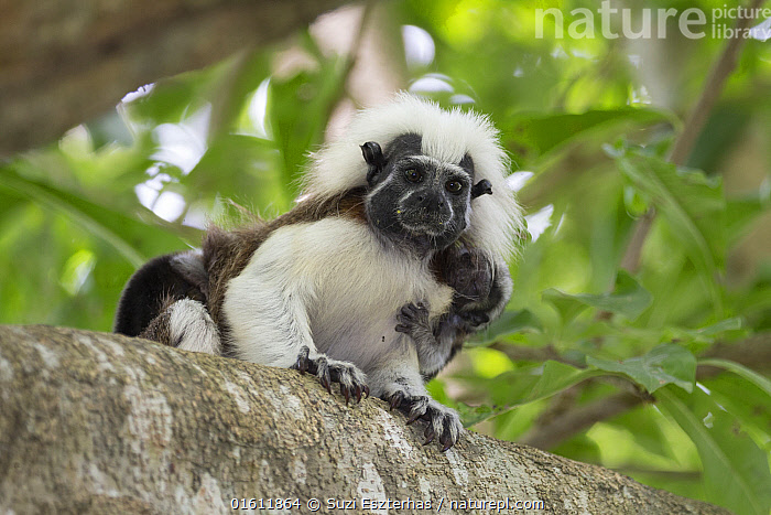 Cotton-top tamarin (Saguinus oedipus), adult with two week old baby on back. Northern Colombia., Animal,Wildlife,Vertebrate,Mammal,Monkey,Tamarin,Cotton-headed Tamarin,Animalia,Animal,Wildlife,Vertebrate,Mammalia,Mammal,Primate,Primates,Callitrichidae,Monkey,New World Monkeys,Saguinus,Tamarin,Saguinus oedipus,Cotton-headed Tamarin,Cotton-top Tamarin,Saguinus titi,Saguinus meticulous,Saguinus doguin,Latin America,South America,Colombia,Columbia,Front View,Young Animal,Baby,Baby Mammal,Family,Direct Gaze,Parent baby,Infant,Endangered species,threatened,Critically endangered, Suzi Eszterhas