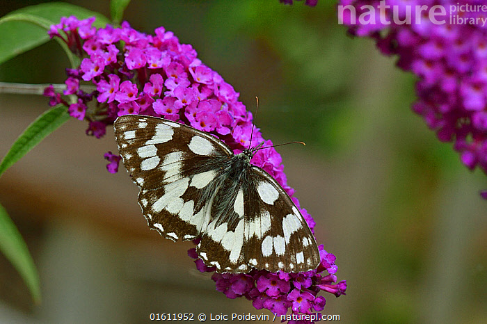 Marbled white butterfly (Melanagaria galathea) on flower, Vendee, France, July., Animal,Wildlife,Arthropod,Insect,Brushfooted butterfly,Marbled white,Animalia,Animal,Wildlife,Hexapoda,Arthropod,Invertebrate,Hexapod,Arthropoda,Insecta,Insect,Lepidoptera,Lepidopterans,Nymphalidae,Brushfooted butterfly,Fourfooted butterfly,Nymphalid,Butterfly,Papilionoidea,Melanargia,Marbled white,Satyrine,Satyrid,Brown,Satyrinae,Melanargia galathea,Papilio galathea,Pollination,Colour,Purple,Europe,Western Europe,France,Pays de la Loire,Plant,Flower,Vendee,, Loic Poidevin