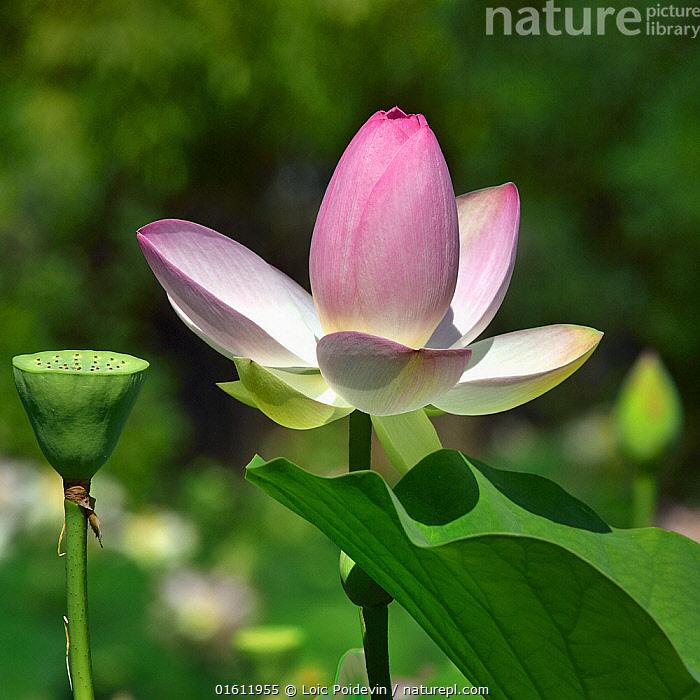 Lotus (Nelumbo nucifera) in flower in botanic garden, Vendee, France, July.  ,  Angiosperm,Angiospermae,Aquatic Plant,Bean of India,catalogue12,Colour,Dicot,Dicotyledon,Europe,Flower,Flowering plant,France,Indian lotus,Lotus,Lotus plant,Magnoliopsida,Nelumbium,Nelumbium speciosum,Nelumbo,Nelumbo nucifera,Nelumbo speciosa,Nelumbonaceae,Nymphaea nelumbo,Pays de la Loire,Pink,Plant,plant plant,Plantae,Proteales,Proteanae,Red lily,Sacred lotus,Spermatophyte,Spermatophytina,Tracheophyta,Vascular plant,Vendee,Western Europe  ,  Loic Poidevin