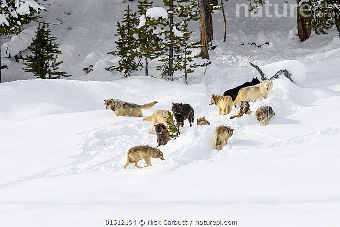 Pack of wolves (Canis lupus). Yellowstone National Park, Wyoming, USA. January.  ,  Animal,Wildlife,Vertebrate,Mammal,Carnivore,Canid,Grey Wolf,American,Animalia,Animal,Wildlife,Vertebrate,Mammalia,Mammal,Carnivora,Carnivore,Canidae,Canid,Canis,Canis lupus,Grey Wolf,Common Wolf,Wolf,Group,Temperature,Cold,North America,USA,Western USA,Wyoming,Equipment,Snow,Winter,Animal Behaviour,Social behaviour,Reserve,Behaviour,Colour morphs,Protected area,National Park,Conservation equipment,Radio trackers,Radio collars,Yellowstone National Park,American,United States of America,Behavioural,,, catalogue11  ,  Nick Garbutt