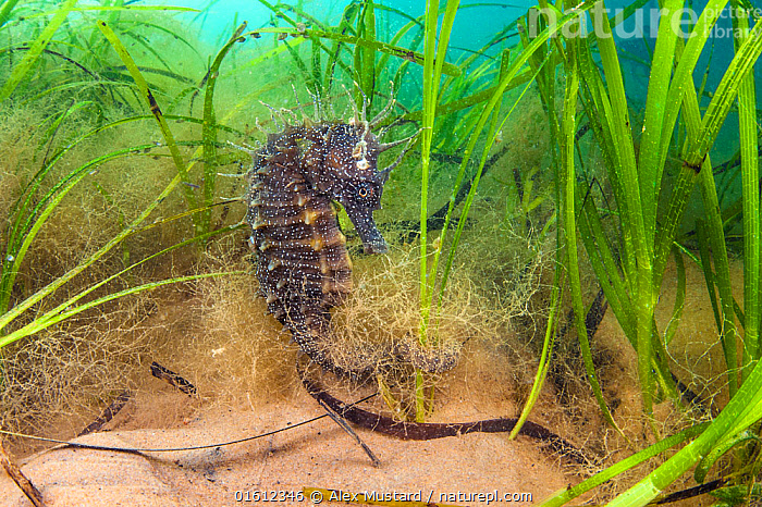 Spiny seahorse (Hippocampus guttulatus) female in a meadow of seagrass. (Zostera marina) Studland Bay, Dorset, England, UK. English Channel.  ,  Plant,Vascular plant,Flowering plant,Monocot,Seagrass,Eel grass,Common eelgrass,Animal,Wildlife,Vertebrate,Ray-finned fish,Seahorse,Yellow seahorse,Maned seahorse,Plantae,Plant,Tracheophyta,Vascular plant,Magnoliopsida,Flowering plant,Angiosperm,Seed plant,Spermatophyte,Spermatophytina,Angiospermae,Alismatales,Monocot,Monocotyledon,Lilianae,Zosteraceae,Seagrass,Sea grass,Zostera,Eel grass,Eelgrass,Zostera marina,Common eelgrass,Seawrack,Zostera pacifica,Zostera latifolia,Alga marina,Animalia,Animal,Wildlife,Vertebrate,Actinopterygii,Ray-finned fish,Osteichthyes,Bony fish,Fish,Syngnathiformes,Syngnathidae,Hippocampus,Seahorse,Hippocampus guttulatus,Yellow seahorse,Hippocampus longirostris,Hippocampus guttulatus multiannularis,Hippocampus hippocampus microstephanus,Maned seahorse,Long-snouted seahorse,Spiny seahorse,Europe,Western Europe,UK,Great Britain,England,Dorset,Profile,Side View,English Channel,The English Channel,Marine,Underwater,Water,Temperate,Saltwater,Sea,Aquatic,Pondweed,Pondweeds,Marine  ,  Alex Mustard
